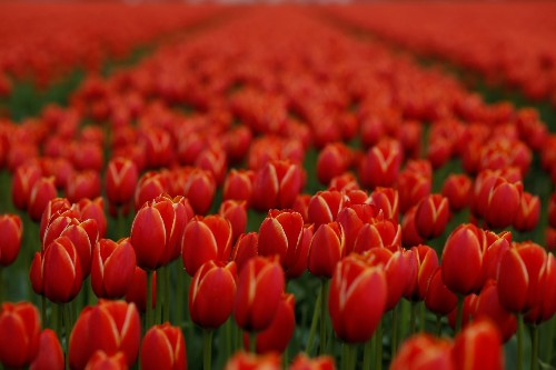 Tulips in Full Bloom: Pictures