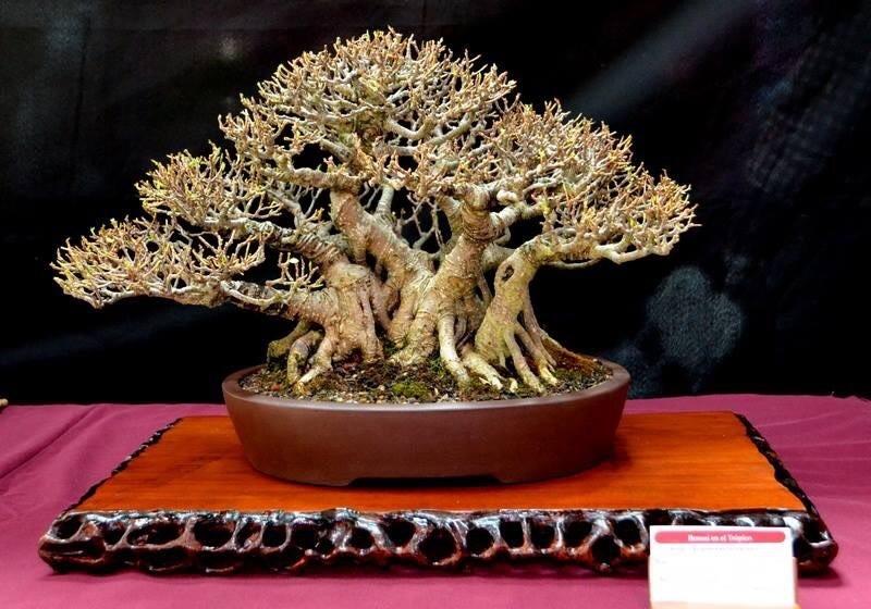 Ficus microcarpa var. Tiger bark