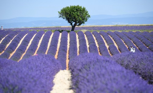 Lavender Fields of Southern France in Pictures