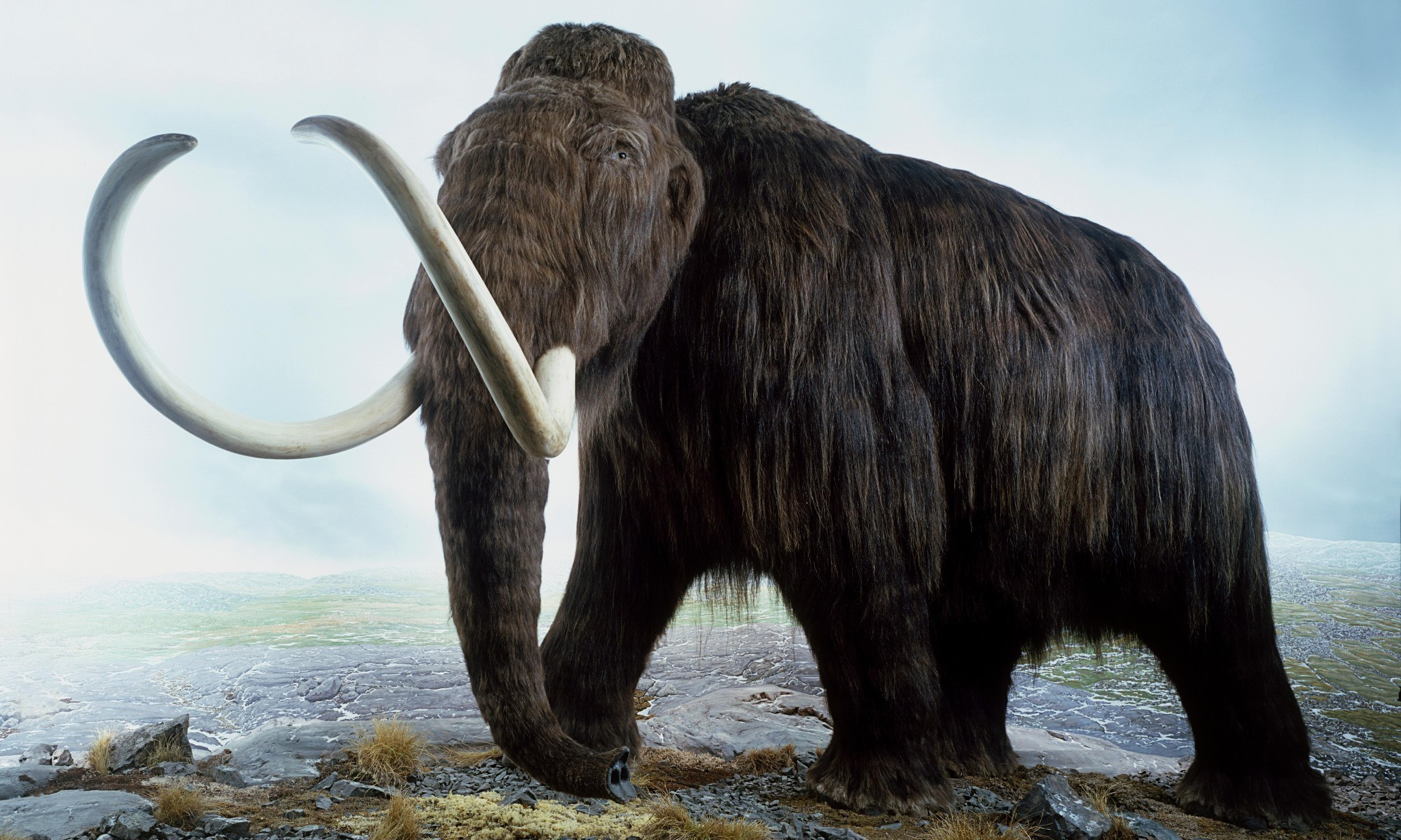 Huge news: scientists solve mystery of dead male woolly mammoths