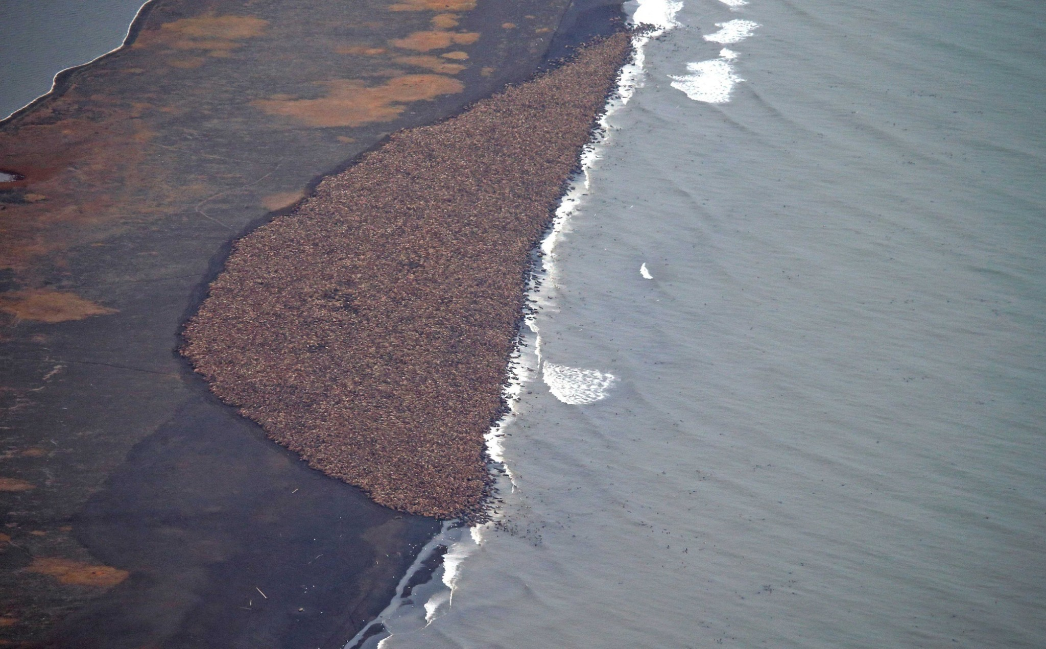Walrus mass on Alaska beach - in pictures