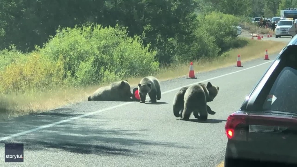 Traffic Stops to Watch Grizzly Bear Cubs Wrestling on Road