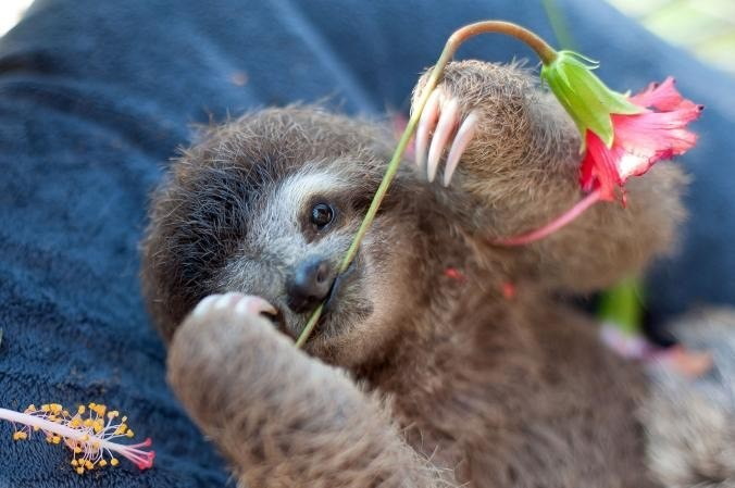 Meet Monster. This three-toed sloth is one month old. Monster plays with a stem from the hibiscus flower. The stem is her favorite snack.