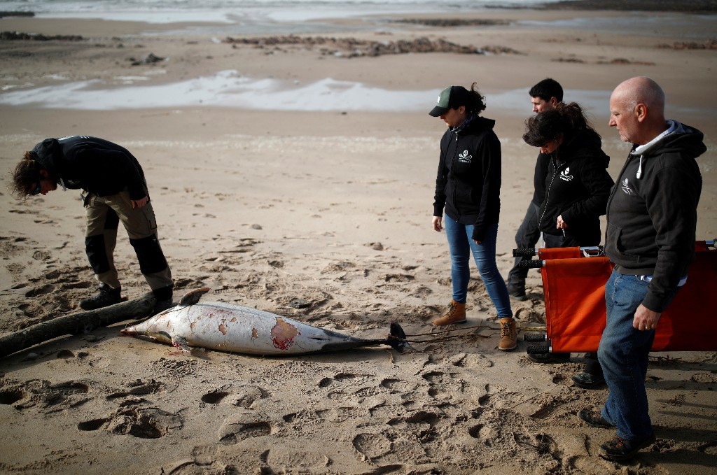 Dead dolphins wash up on France's shores in record numbers