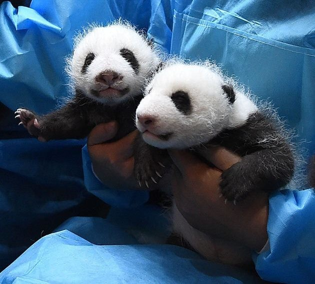Baby Panda Kindergarten is the Cutest Thing You'll See All Day