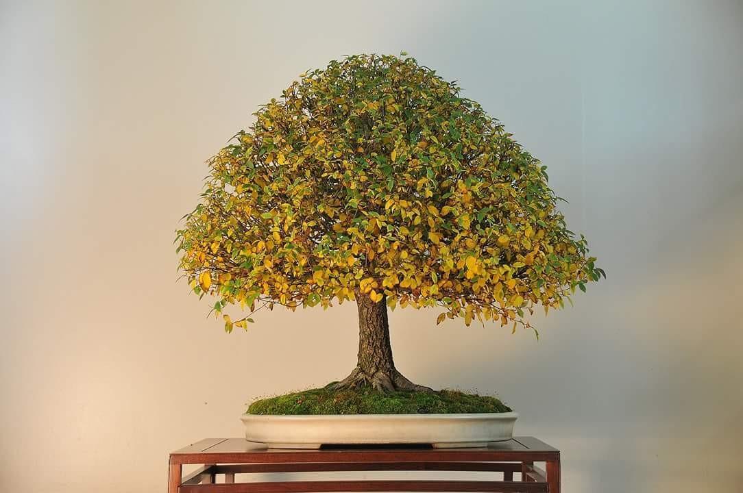 Suthin Sukosolvisit tree