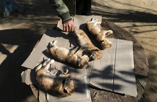 Newborn lion cubs die in Gaza after winter storm