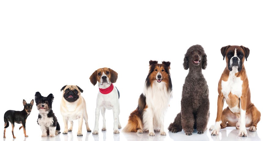 Dogs are different by many things. They are different by their breeds,personalities and actions. There are small breeds like chihuahuas and mini Pomeranians. There are big dogs like Malinois shepherd and golden retrievers. There are medium dog sizes like poodles,jack Russell's, border collies, pugs and husky.
