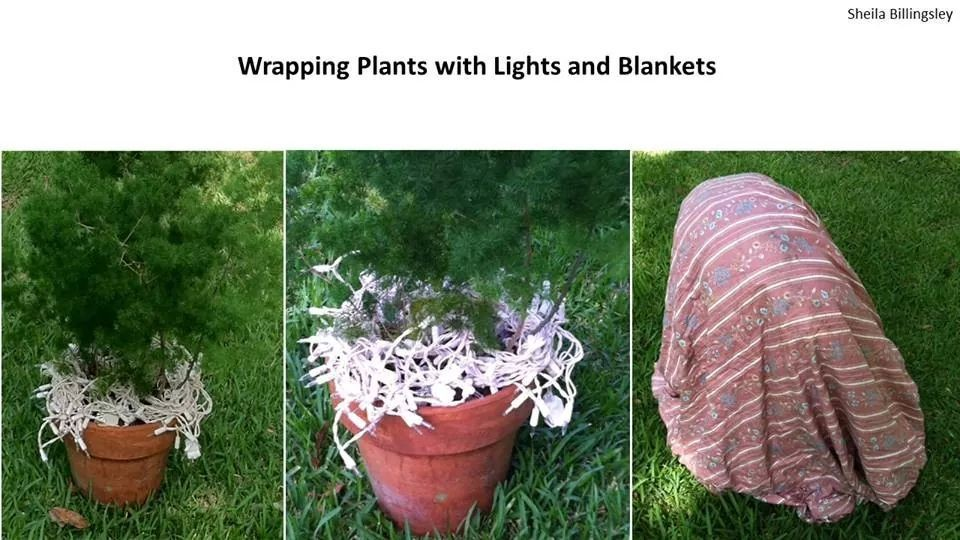 Christmas lights for plants in a freeze