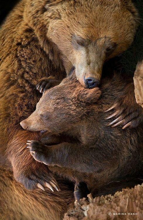 O filhote de urso estava com medo e a sua mãe Abraço para vê se passava o medo