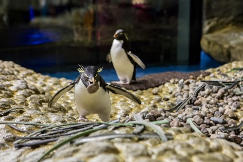 Spring is the Season of Love! Penguin Nesting and Pairing Begins