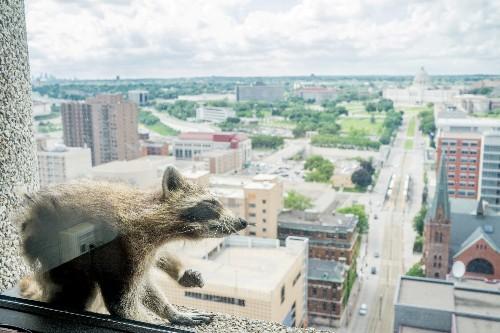 Minnesota online sensation raccoon captured atop skyscraper