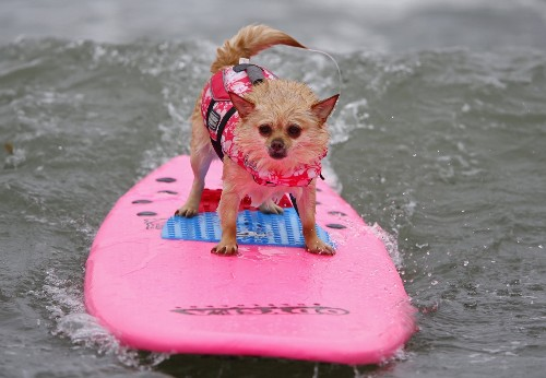 Dog Surfing in California