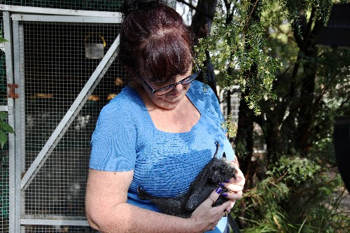 Rescuer opens home to baby flying foxes orphaned by Australian bushfires
