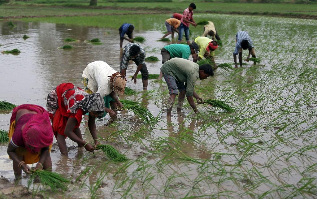 Thai rice rates slip as demand drops, rains hamper Vietnamese harvest
