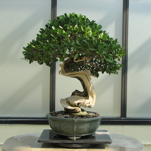 How to Grow a Bonsai Tree & Make It Live Forever