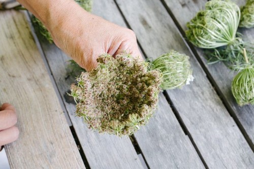 Queen Anne's Lace: The Wild Mother of Carrot (+ A CognacApéritif)