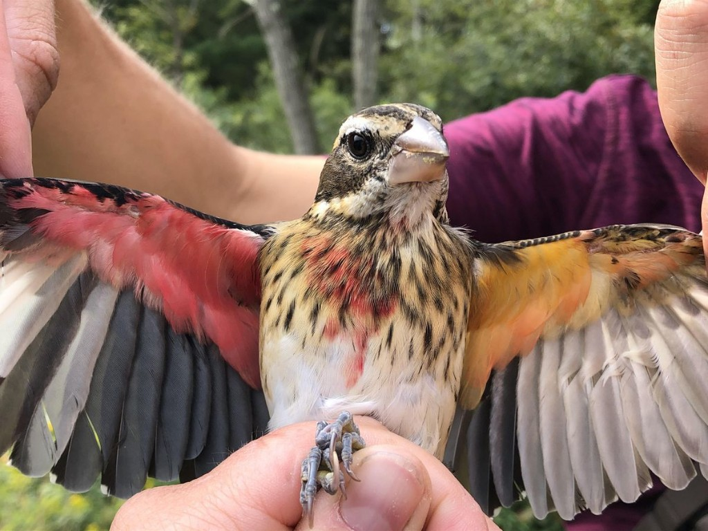 Half Male-Half Female Songbird Captured In Pennsylvania