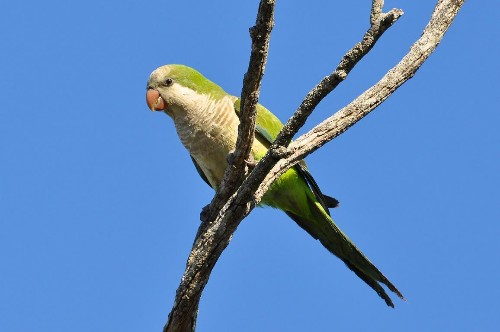 Escaped Pet Parrots Are Now Naturalized In 23 U.S. States