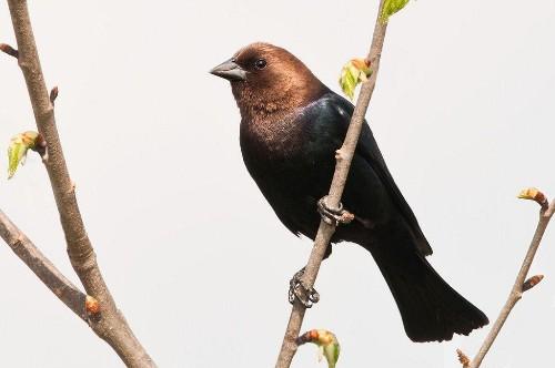 Cowbirds' Secret Identity Is Unlocked By A Vocal Password
