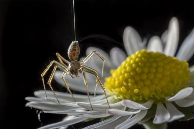 Spiders Feel The Electricity In The Air - And Use It To Fly