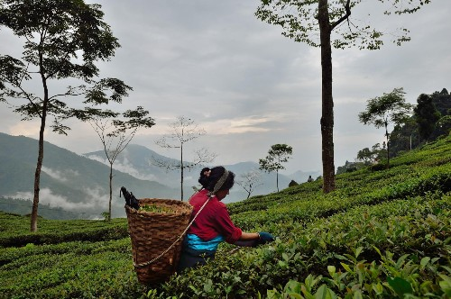 How Teabox Is Bringing Silicon Valley To The Darjeeling Tea Fields