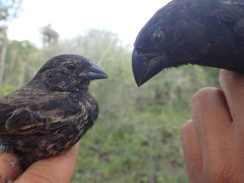 How Do Darwin's Finches Change Their Beak Sizes So Quickly?