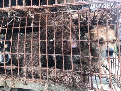 The Yulin Dog Meat Festival Is No Cultural Pillar -- Why It Needs To Stop Now