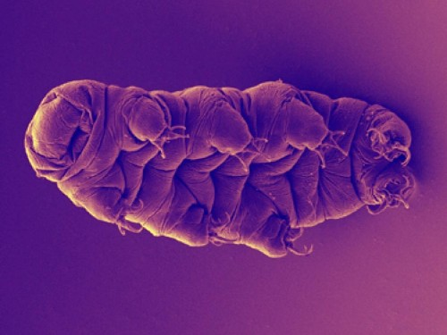 Indestructible 'Water Bears' Have Really Weird Genomes