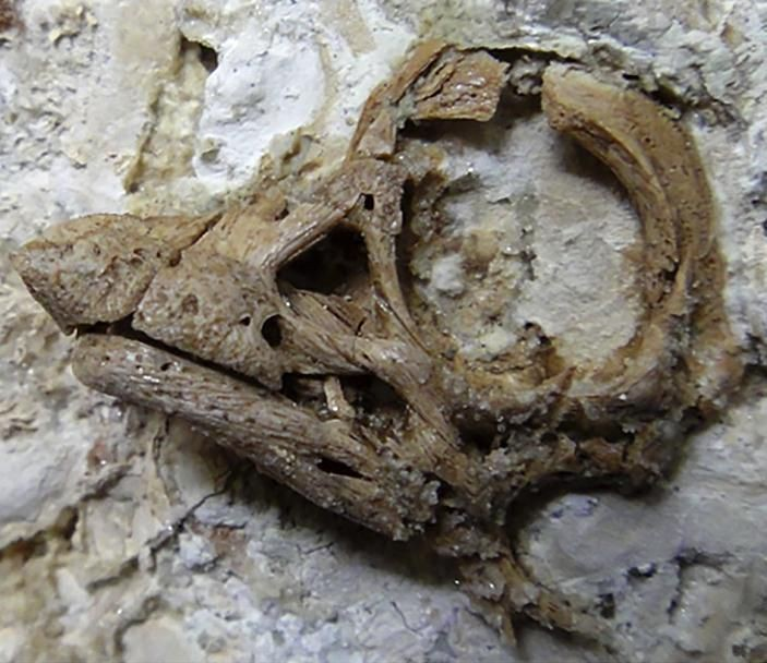 'Babyface' Dinosaur Hatched Thanks To Nasal-Horn