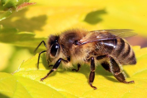 A Honeybee With Two Fathers And No Mother