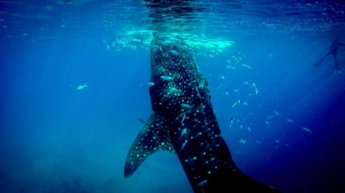 Another Omnivorous Shark: Whale Sharks Eat Their Greens, Too!