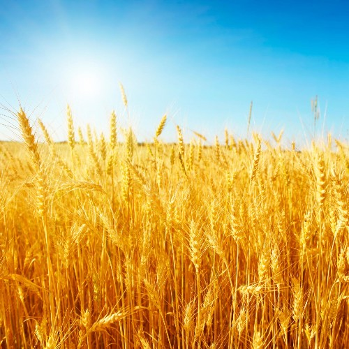 Wheat Production Sets New Records Thanks To Global Warming