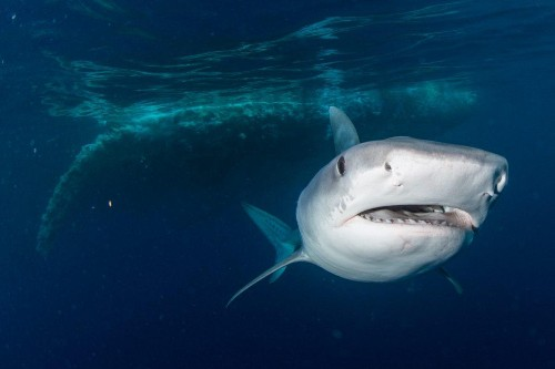 What We Learned About Sharks Feasting On A Dead Whale