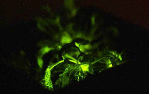 "A Glowing Plant: The First Fruit Of ""Digitized"" Genetic Engineering"