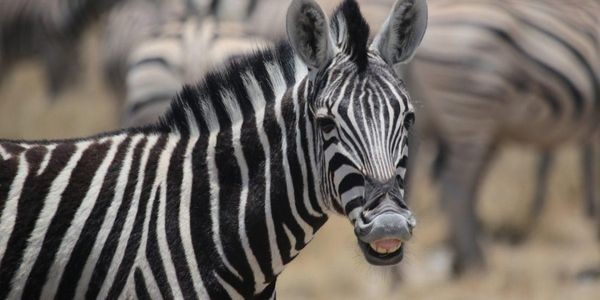 Scientists Just Solved The Mystery Of Why Zebras Have Stripes By Making Horses Wear Zebra Costumes