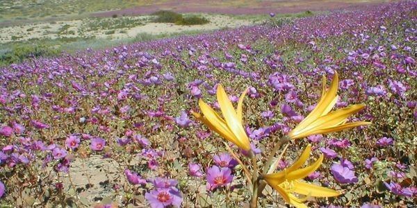 What Desert Flowers Tell Us About Astronomy