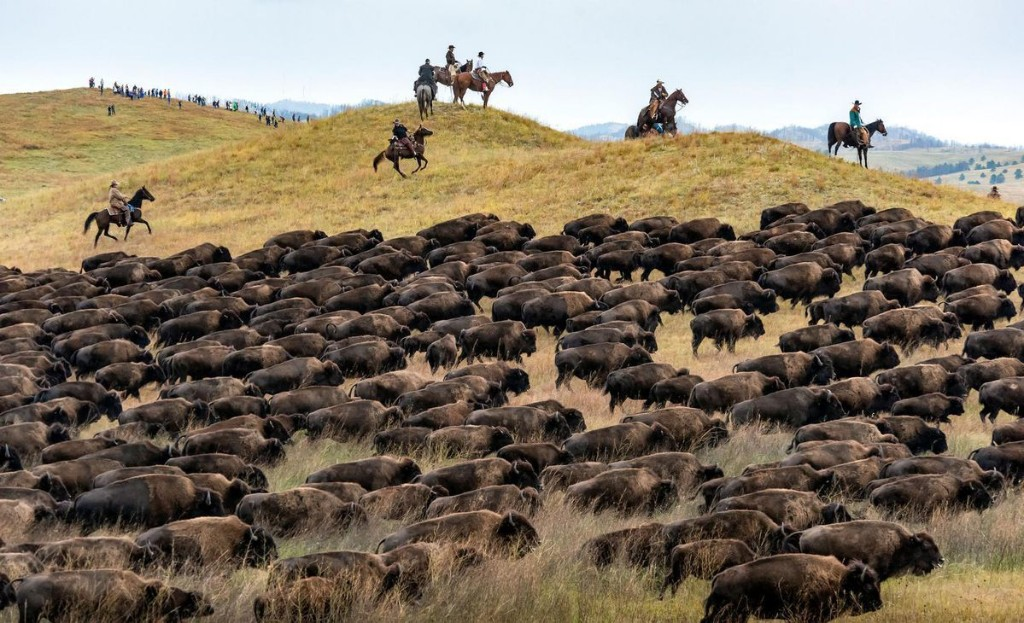 How To Watch The Annual Buffalo Roundup Livestreamed From South Dakota