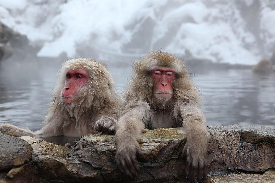 How To Experience The Spa Loving Snow Monkeys In Nagano, Japan