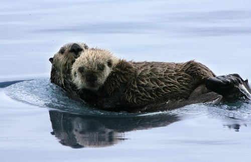The Monterey Bay Aquarium's Sea Otter Surrogacy Program Is Helping Wild Populations