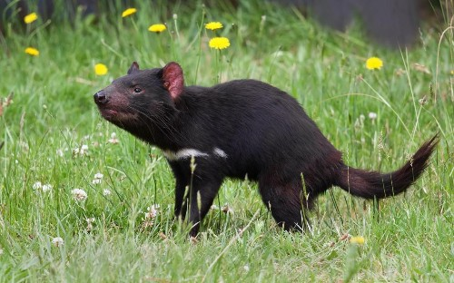 New Contagious Cancer Found In Tasmanian Devils