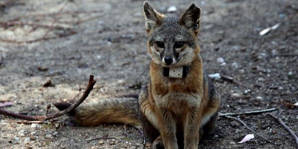 What Can The Ears Of Island Foxes Tell Us?