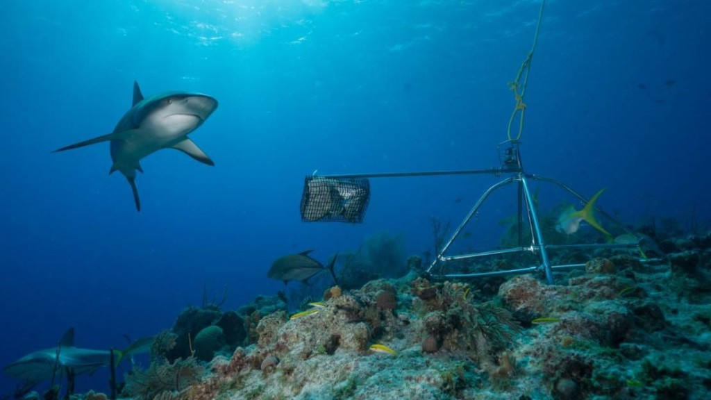 Sharks Are Becoming Functionally Extinct Around The World