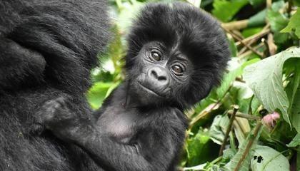 Gorilla Trekking In Uganda, Rwanda And Congo: 101