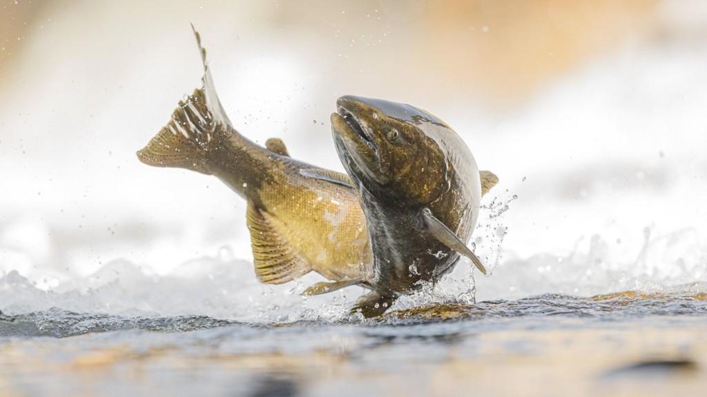 Solar Power Can Help Halt Dramatic Decline Of Migratory Fish