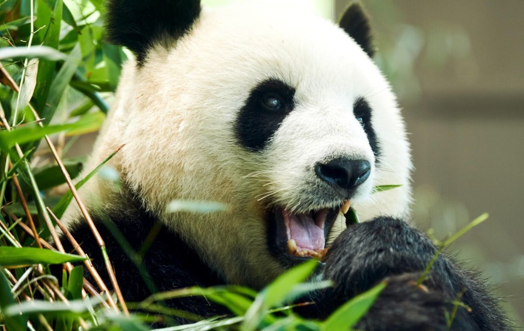 Good News For Pandas: Scientists Say Habitat Protections Have Helped Offset The Impacts Of Climate Change