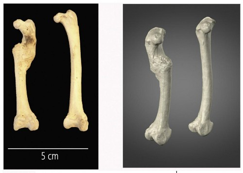 Archaeologists Suggest Ancient Chicken With Broken Leg Was A Good Egg... Provider