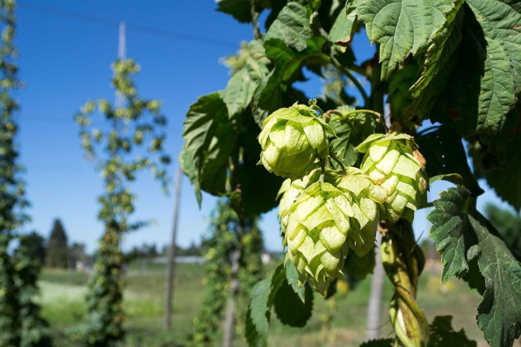 The Debate Over Hops In Craft Beer Is Positively Medieval