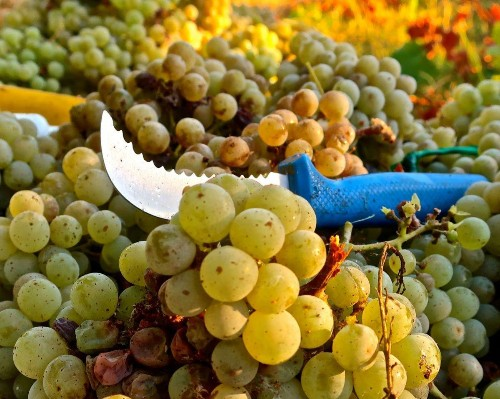 Lodi Is Producing World-Class White Wines