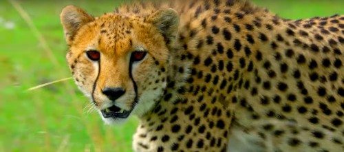Watch A Cheetah Hunt Its Prey In Never-Before-Seen Clip From Nat Geo's 'Hostile Planet'